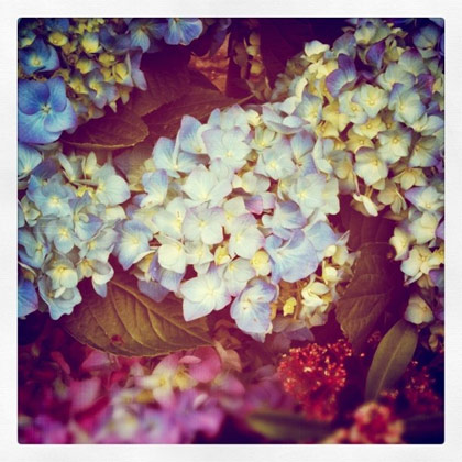 Les hortensias bleus