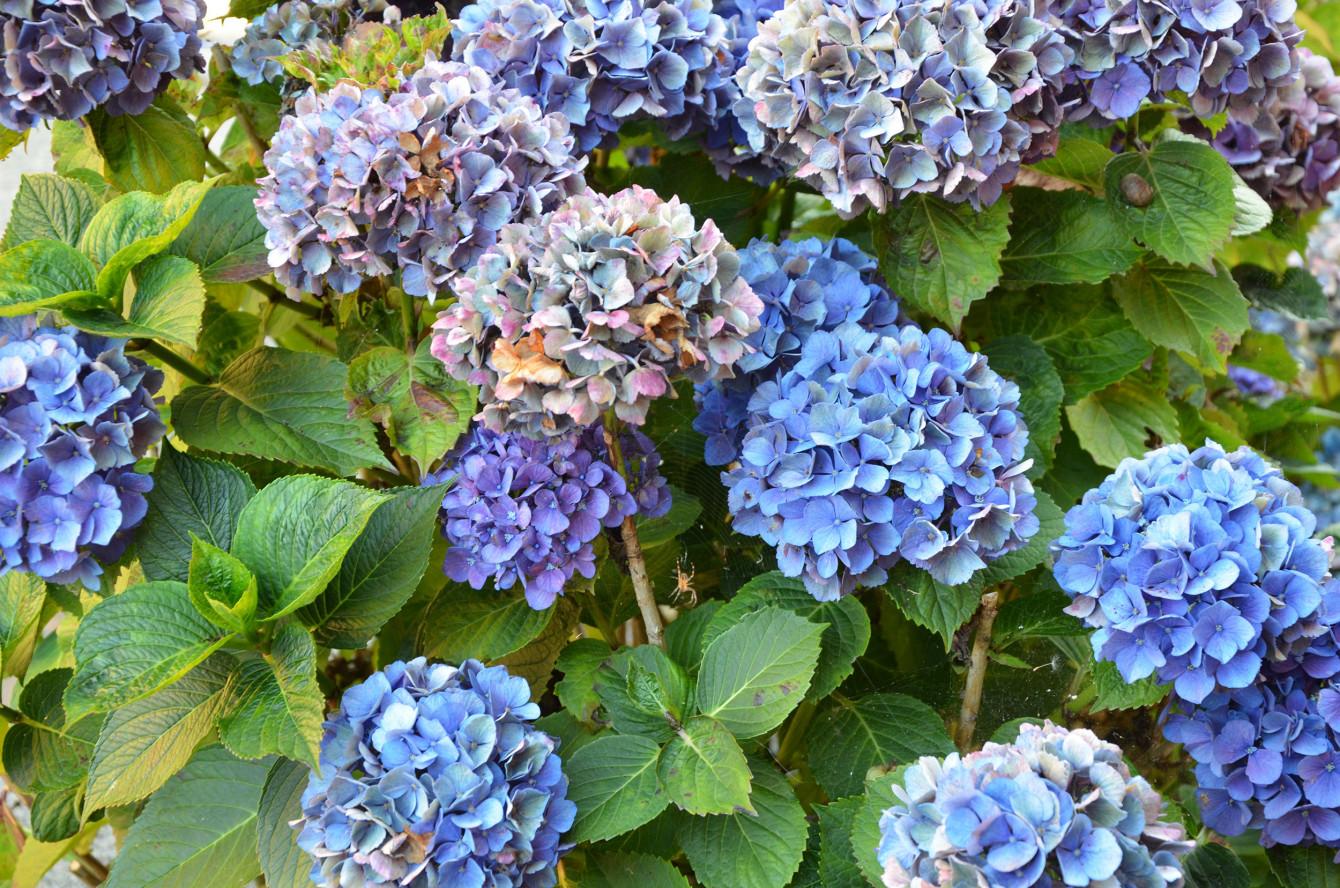 Des hortensias bleus, mes fleurs préférées!