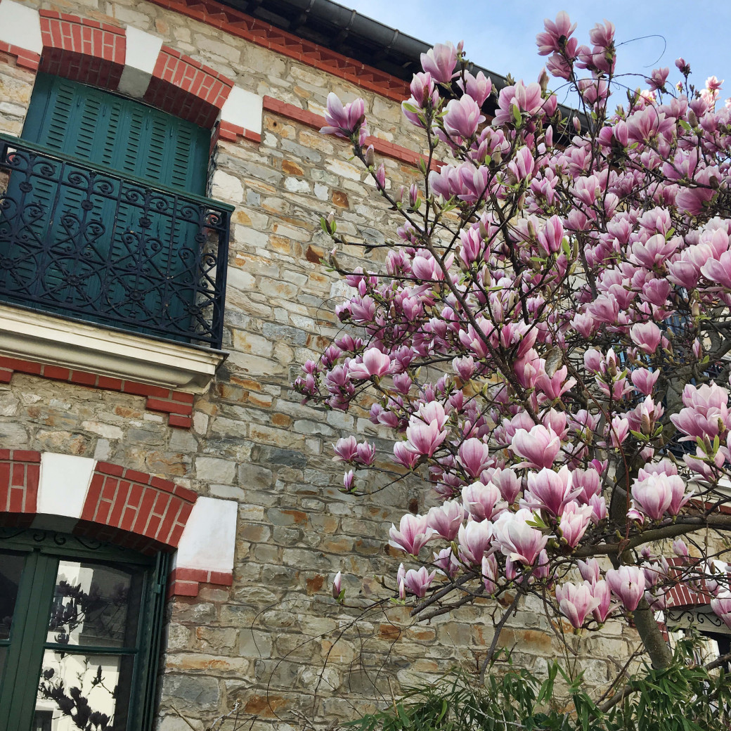 Les magnolias en fleurs