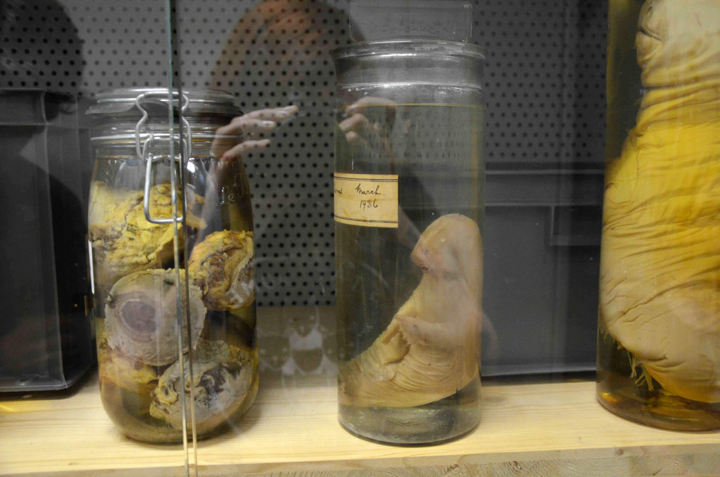 Un fœtus de beluga